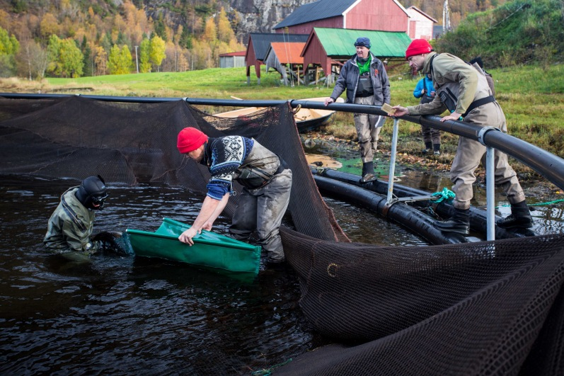 Netting the brood stock out of the lake for analysis